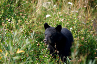Black Bears along Hwy 97