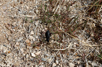 Beetle in Great Basin NP